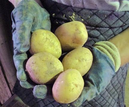 Chlumanské brambory ruce